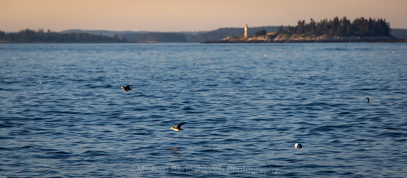 Glimpse of the Puffins