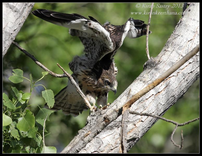 Red-tailed Hawk, Covington Park, Morongo Valley, Riverside County, California, May 2013