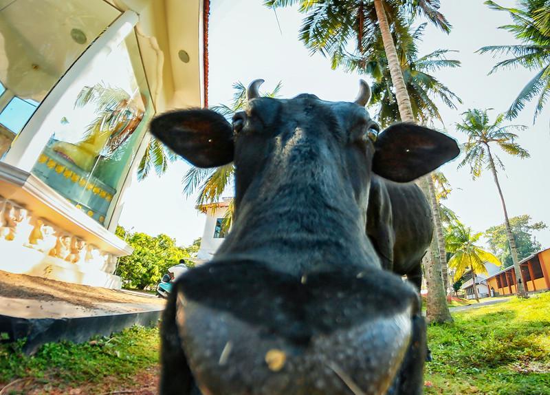 buddhist cow