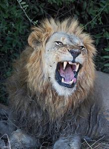 Predatory Cats of Africa