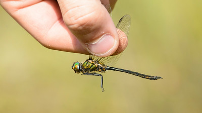 Dragonflies in Scania  - Southern Sweden July 2014