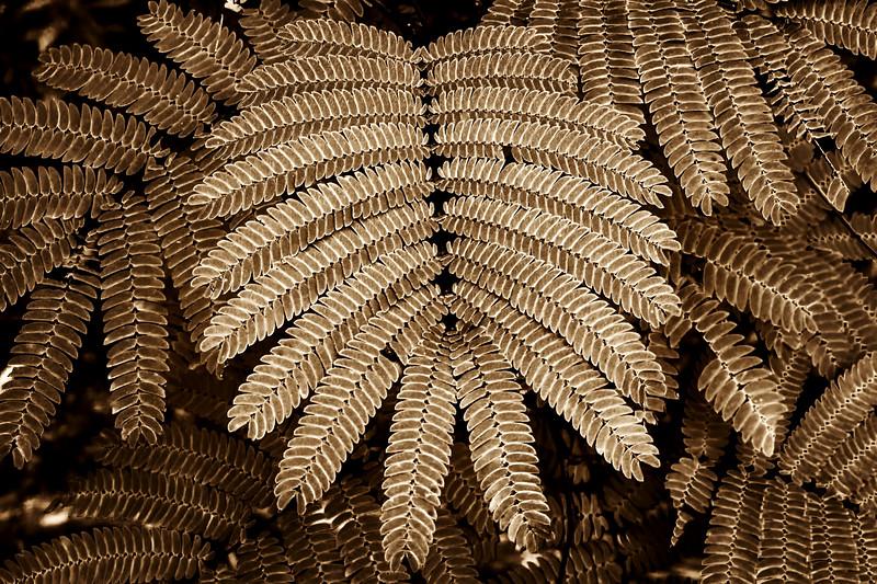 2012-05-28 Mimosa Leaf Post Oak_DSC0977.jpg