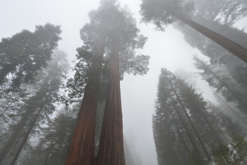 Sequoia Trees in the Mist Sequoia National Park