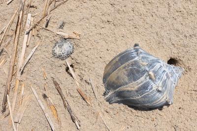 Whelk shell and grasses in sand along beach of Cedar Island, VA. © 2020 Kenneth R. Sheide