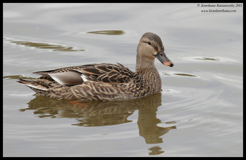 Mallard duck, Lindo Lake, San Diego County, California, November 2011