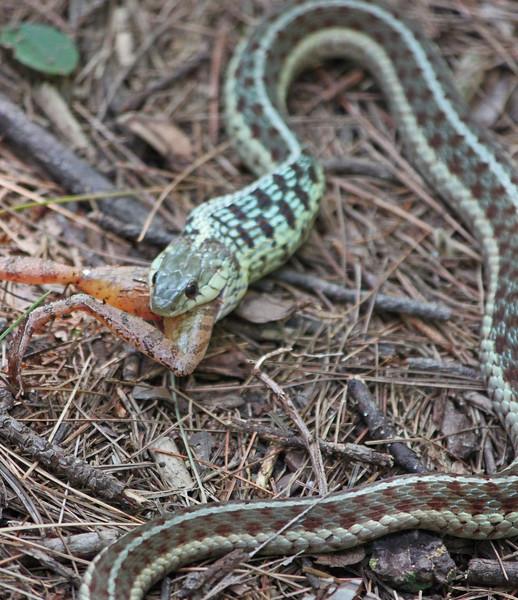 snake eating frog 5.jpg