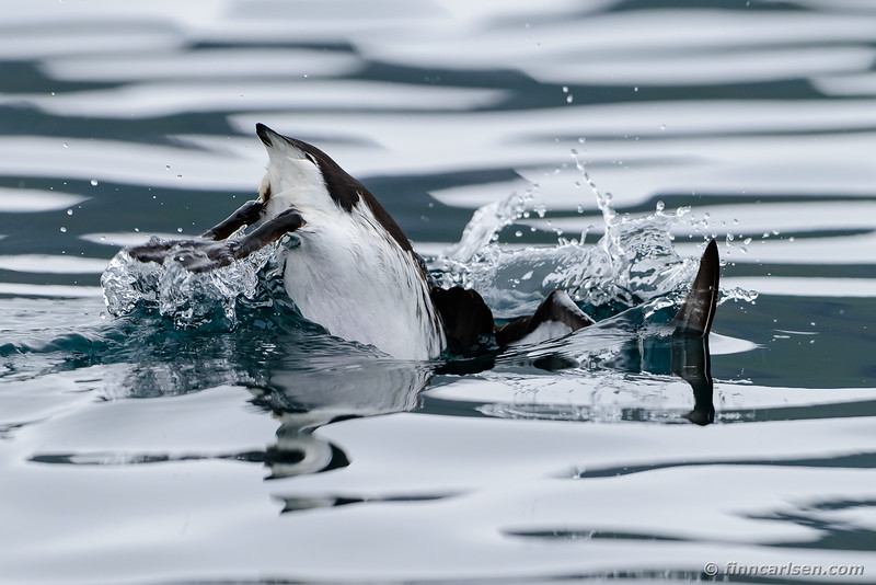 Lomvie (Uria aalge - Common murre)