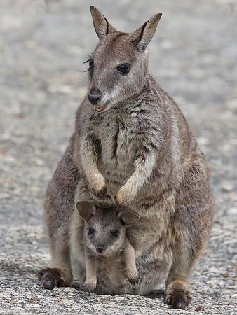Mareeba Rock-wallaby