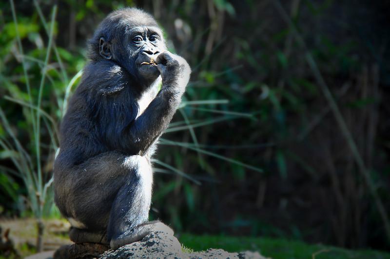 Silverback Gorilla # 2.jpg