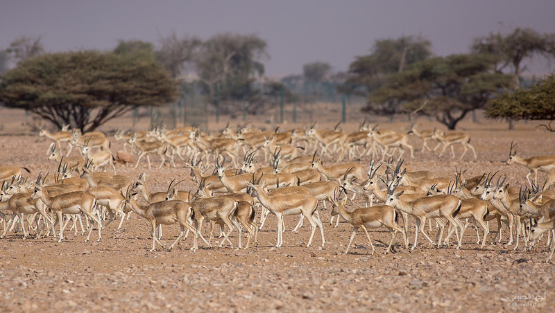 Gazelle (1).jpg