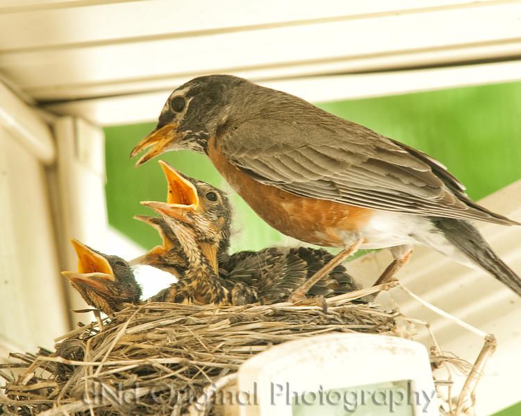 052 Baby Robins Spring 2013.jpg