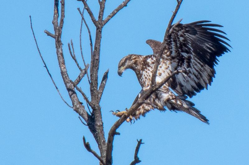 smug eagle 5.jpg