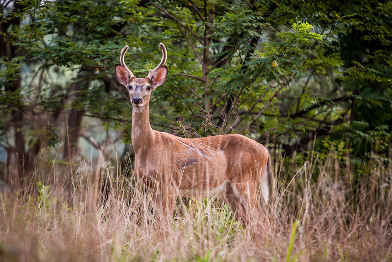 A skinny little buck, more curious than nervous