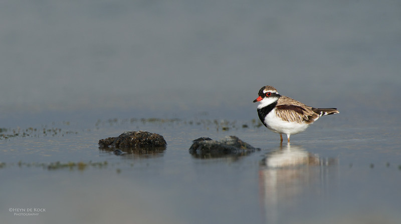 Black-fronted Dotteral, Western Treatment Plant, VIC, Apr 2014-1.jpg