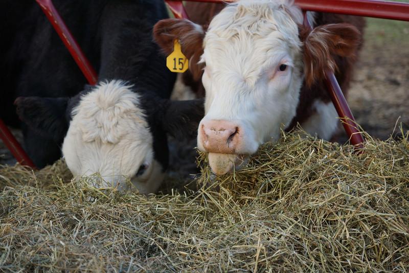 cows eating.jpg