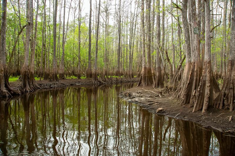 Cypress Trees in FL swamps near St. John's River