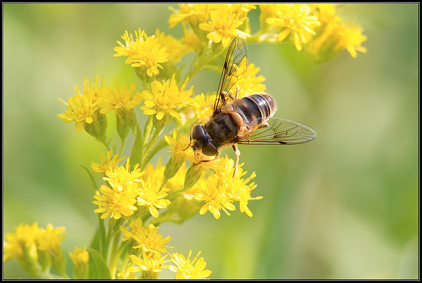 Kegelbijvlieg/European hoverfly