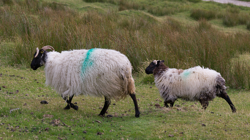 Sheep in a farm, Achill Head Hike, Achill Island, County Mayo, Ireland