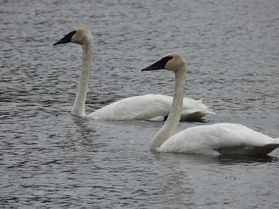 20201006 Trumpeter Swan