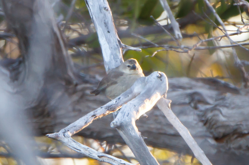Mangrove Finch at Playa Tortuga Negra, Isabela, Galapagos (11-24-2011).jpg