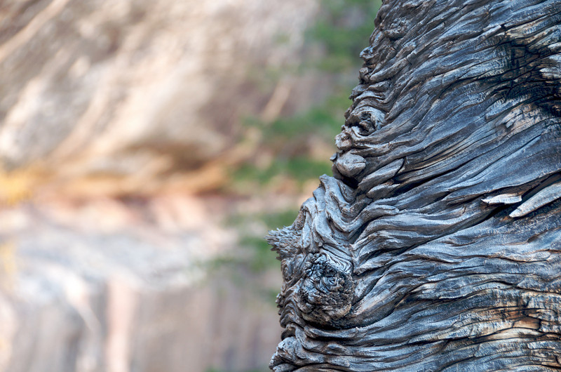 Gnarly trunk of a twisted cedar (?) tree.