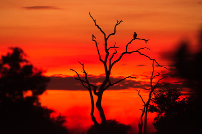Sunrise on the Delta FIsh Eagle