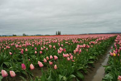 Tulip Festival, 4-12