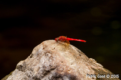Scarlet Percher Dragonfly