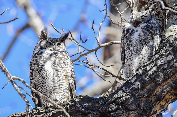 4-1-16 Great Horned Owl - Memorial - RIP