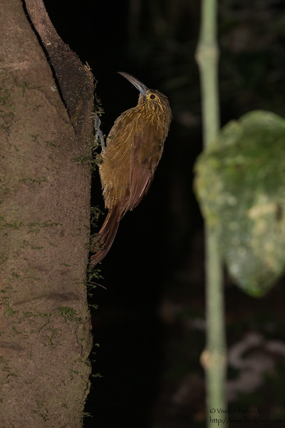 Strong-billed Woodcreeper - Tandayapa Lodge, Ecuador