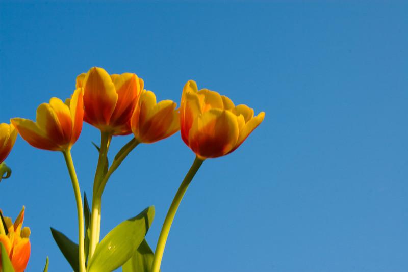 Tulips outdoor_27.jpg