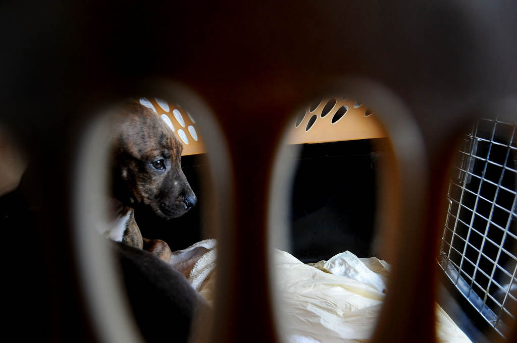 . A male pit mix puppy looks out the front of the crate in the backseat of volunteer driver\'s Susan Stevens Honda on the way from Madison to Tomah, Wis. Saturday afternoon. (Pioneer Press: Sherri LaRose-Chiglo)
