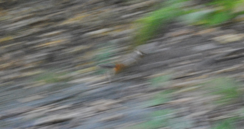 chipmunk-flee.JPG