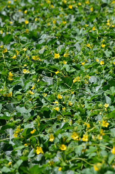 melon blooms in the field