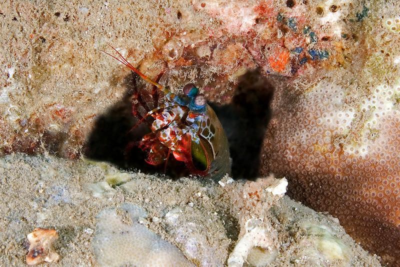 Mantis Shrimp 3.jpg