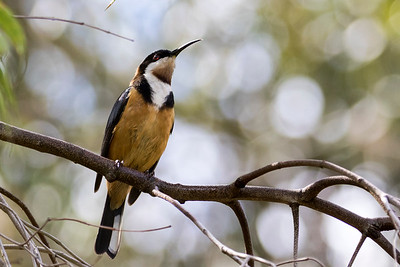 Birds - Australia