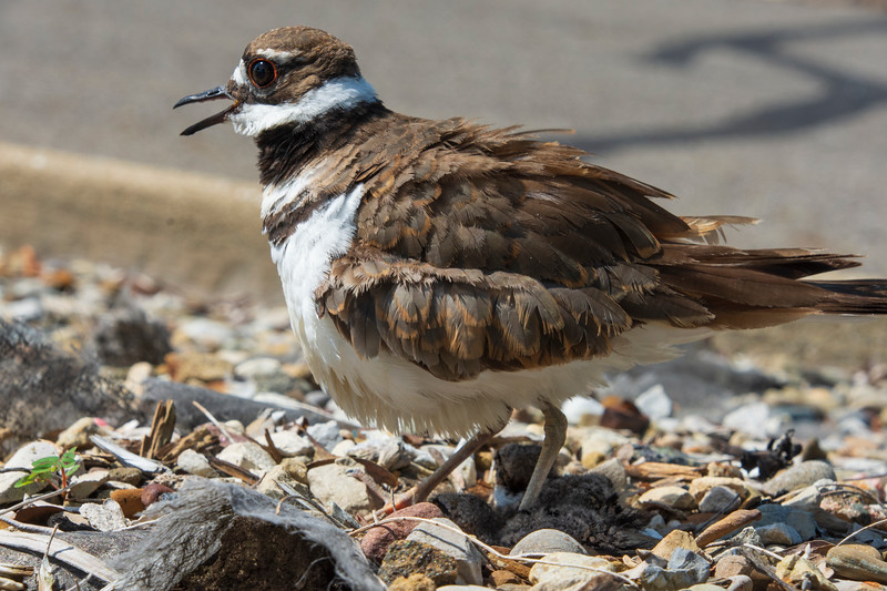 Killdeer-hatchling-parent-Lowes5.jpg
