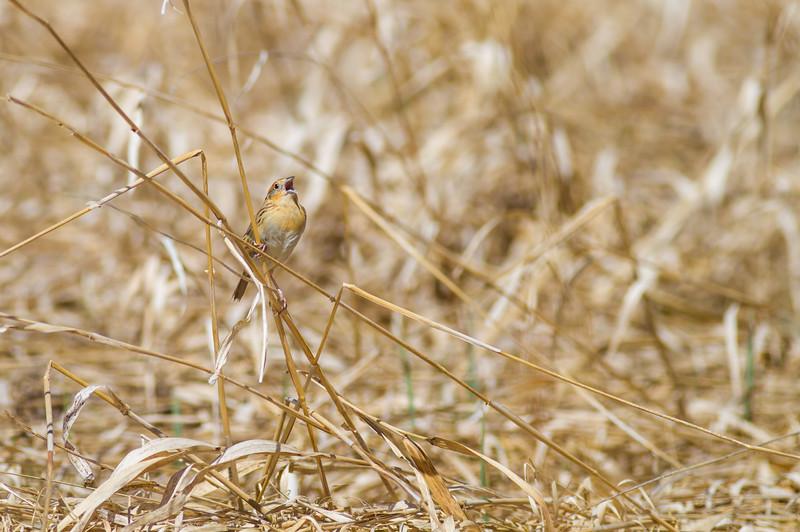 LeConte's Sparrow Pine Road Sax-Zim Bog MNIMG_7623.jpg