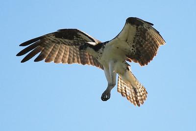 Oregon ospreys