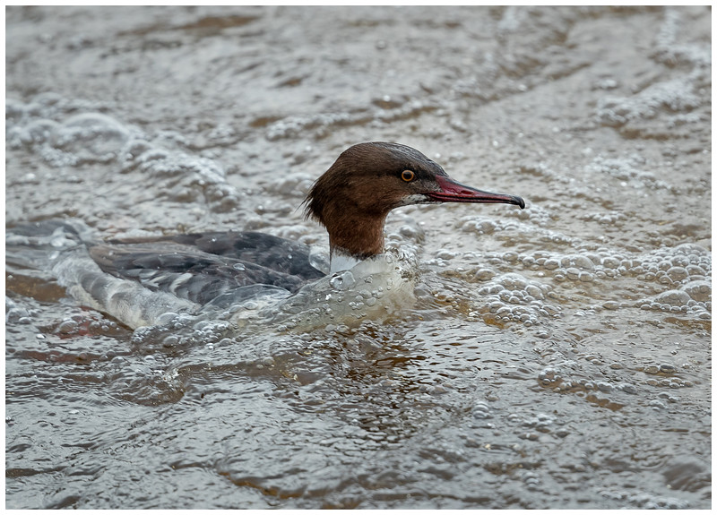 Goosander (female) feeding in the surf