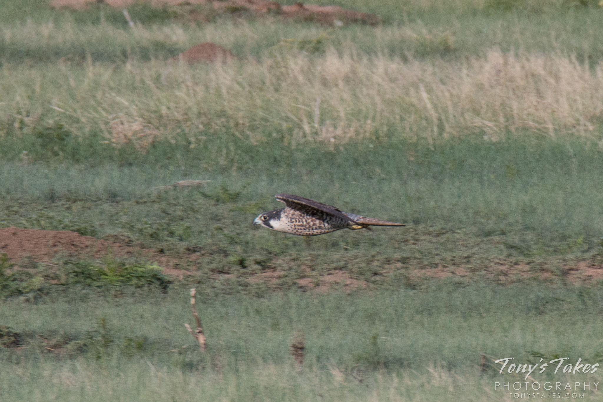 A juvenile Peregrine Falcon flies low and fast.  (© Tony's Takes)