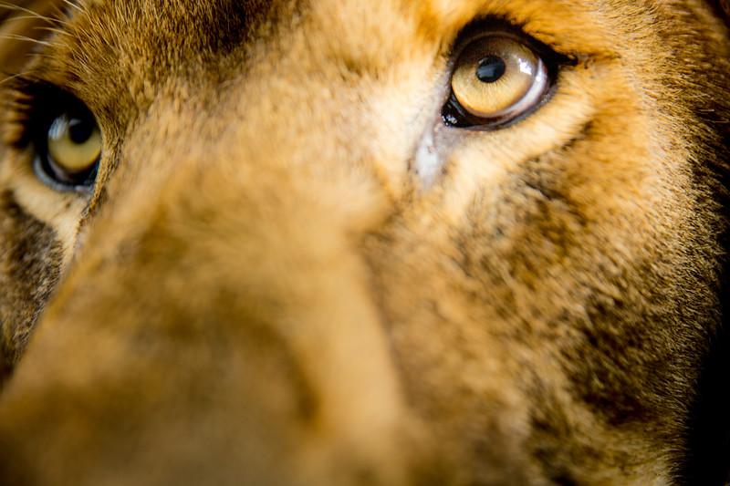 Lion (Panthera leo) Captive