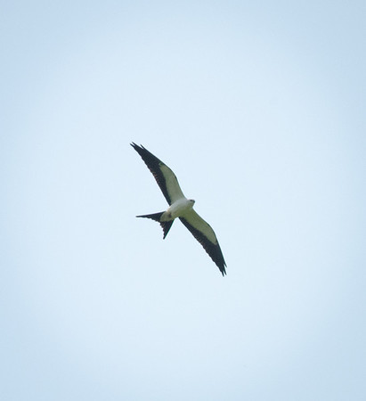 2012-0818 Swallow-tailed Kite