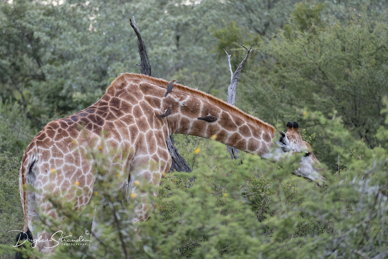 Giraffe with Red-Billed Oxpeckers