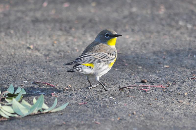 Yellow-rumped Warbler 2.JPG