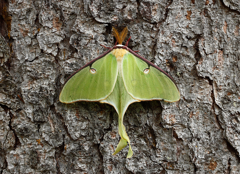 Clinging - Luna Moth (Judge C.R. Magney State Park - Minnesota)