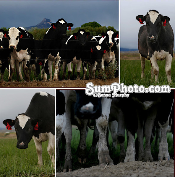 Dairy Cows in Pasture BlogBoard
