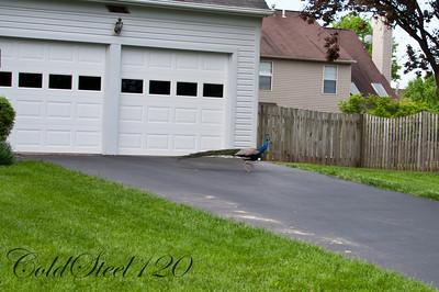 Peacock in Manassas