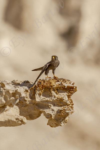 6. Sooty Falcon (Falco concolor) - בז שחור