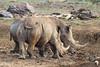 White Rhino in Mud